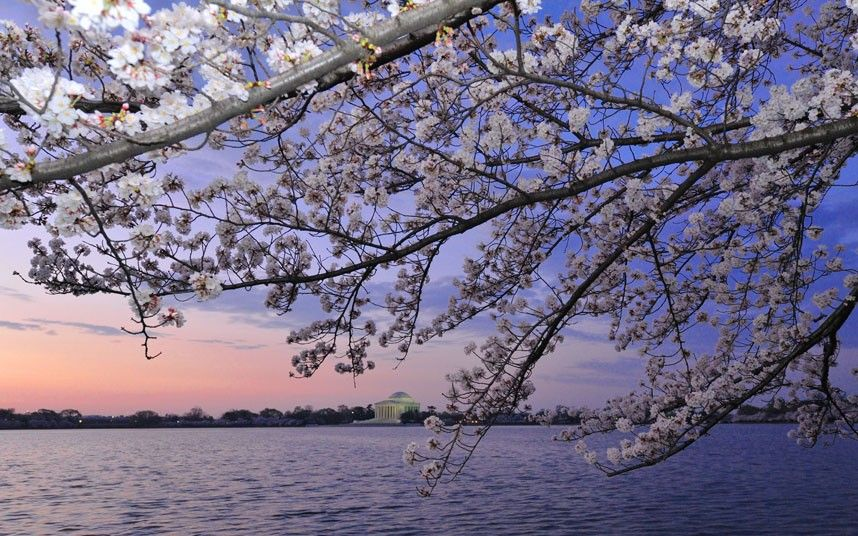 100 Year Old Japanese Cherry Trees Blossom In Washington Dc Japanese Cherry Tree Cherry Tree Blossom Trees