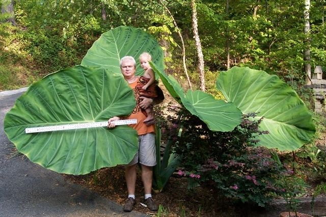 Lexi And Stephen Reis Are The Winners Of Ut Gardens Prize Pack For Growing Largest Giant Elephant Ears This Summer