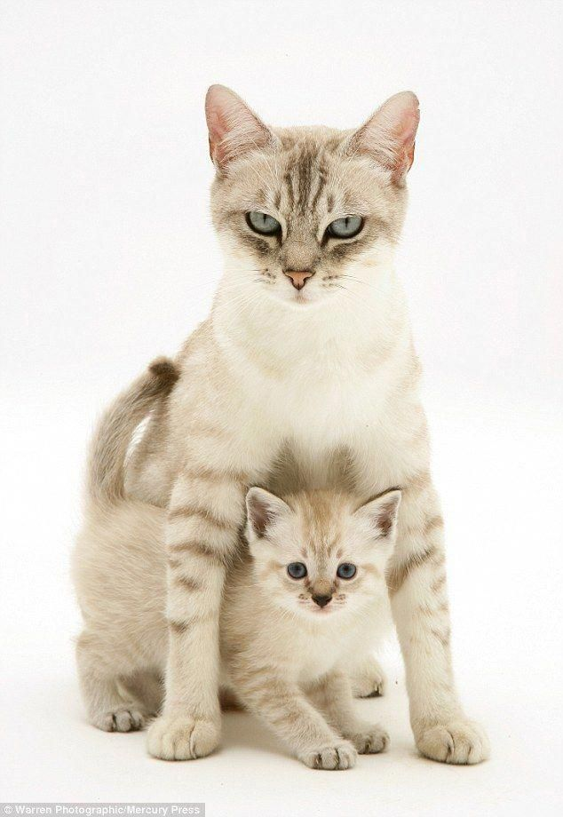 A Birman Cross Mother Cat And Her Kitten Were Seen Getting Playful For The Stunning Photoshoot Kittencare With Images Why Do Cats Purr Beautiful Cats Cat Aesthetic