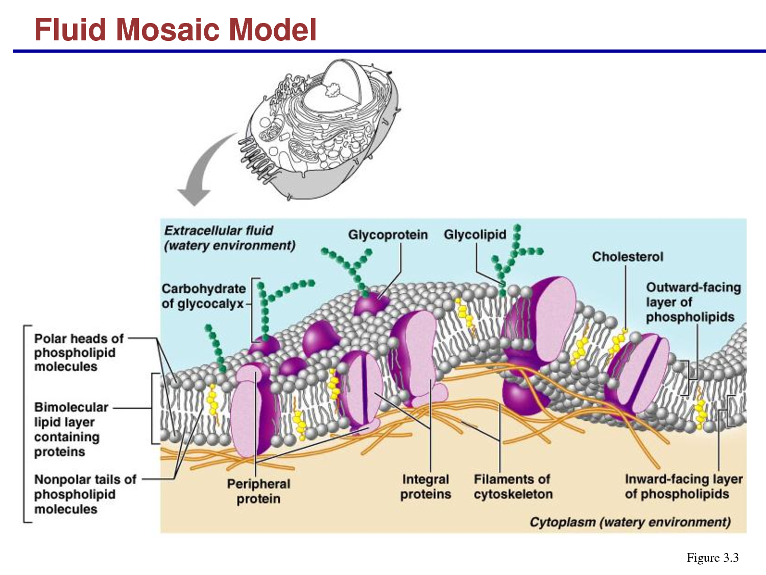 Evangeline Leong: Biology Online Journal: The Fluid Mosaic Model of ...