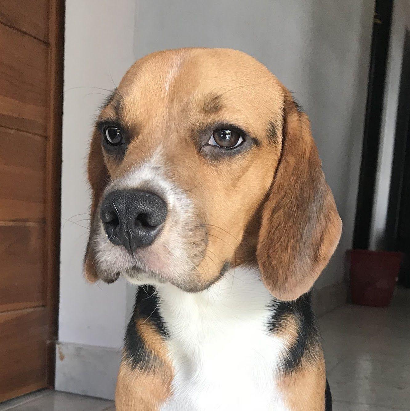 Meh Emoji Beagle Puppy Kimii