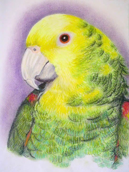 The Double Yellow Headed Amazon Parrot Misha's