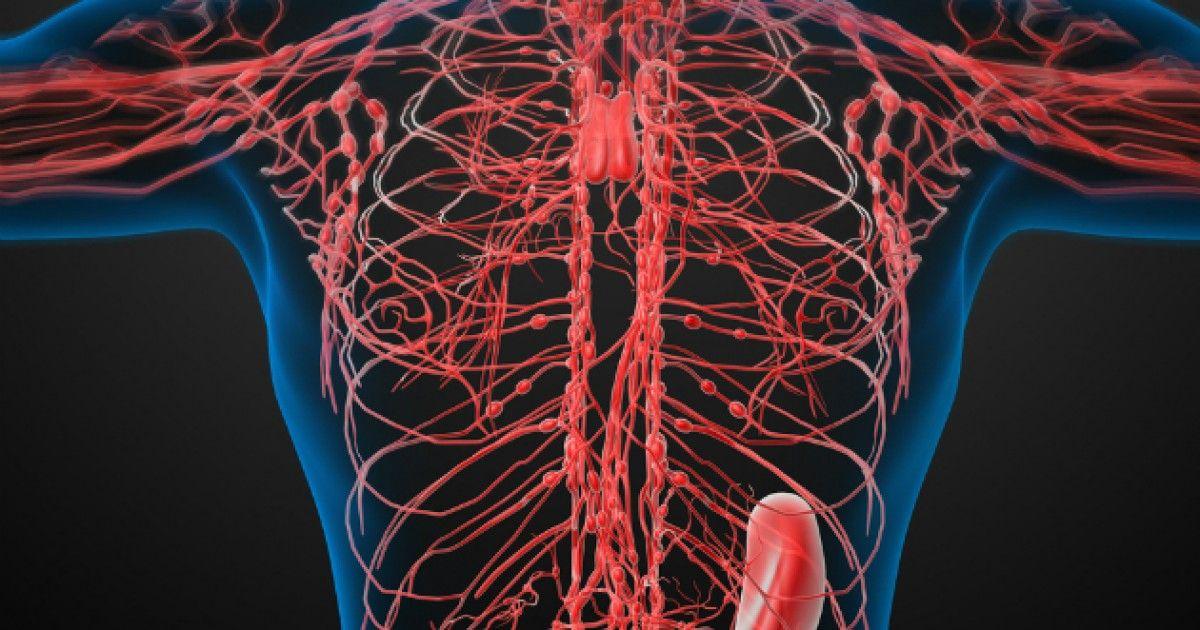 Lymfatický systém tvorí sústava lymfatických ciev, lymfatických uzlín a lymfatických orgánov. Úlohou lymfatického systému je doprava tekutín a živín z medzibunkového priestoru do krvného obehu. Transportuje najmä bielkoviny, ale aj...