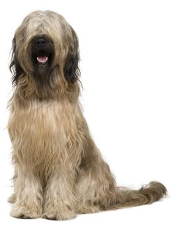 French Briard Briard Puppies For Sale And Briard Breeders Briard Dog Pedigree Dog Briard