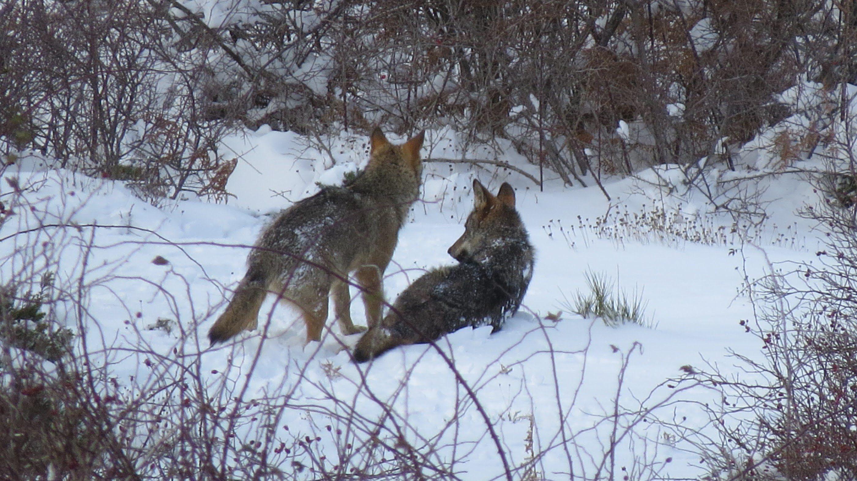 Lobos Ibéricos Retozando en la Nieve (Iberian Wolves) | el sr de los ...