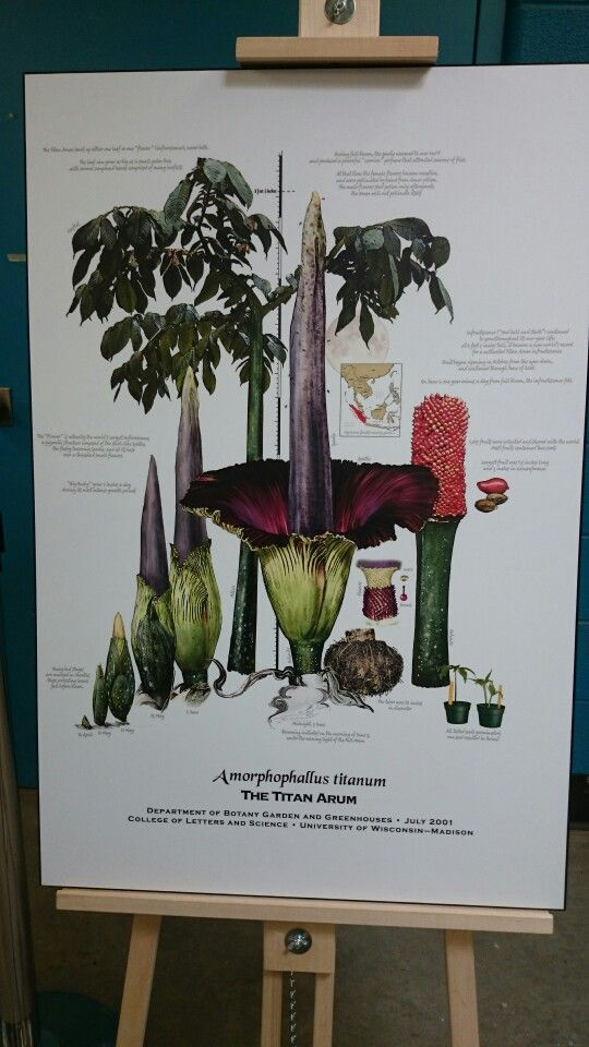 Corpse Flower Botanical Poster Mcmaster University Hamilton Ontario 2015