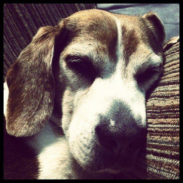 My favorite beagle :)