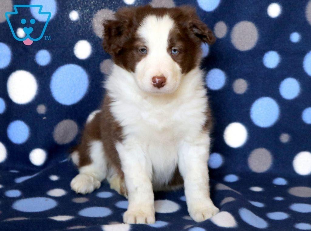 Alfie Border Collie Puppy For Sale Keystone Puppies