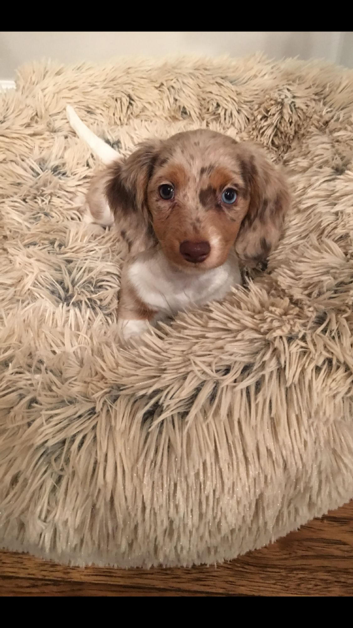 Mini Dachshund Puppies San Diego 2021