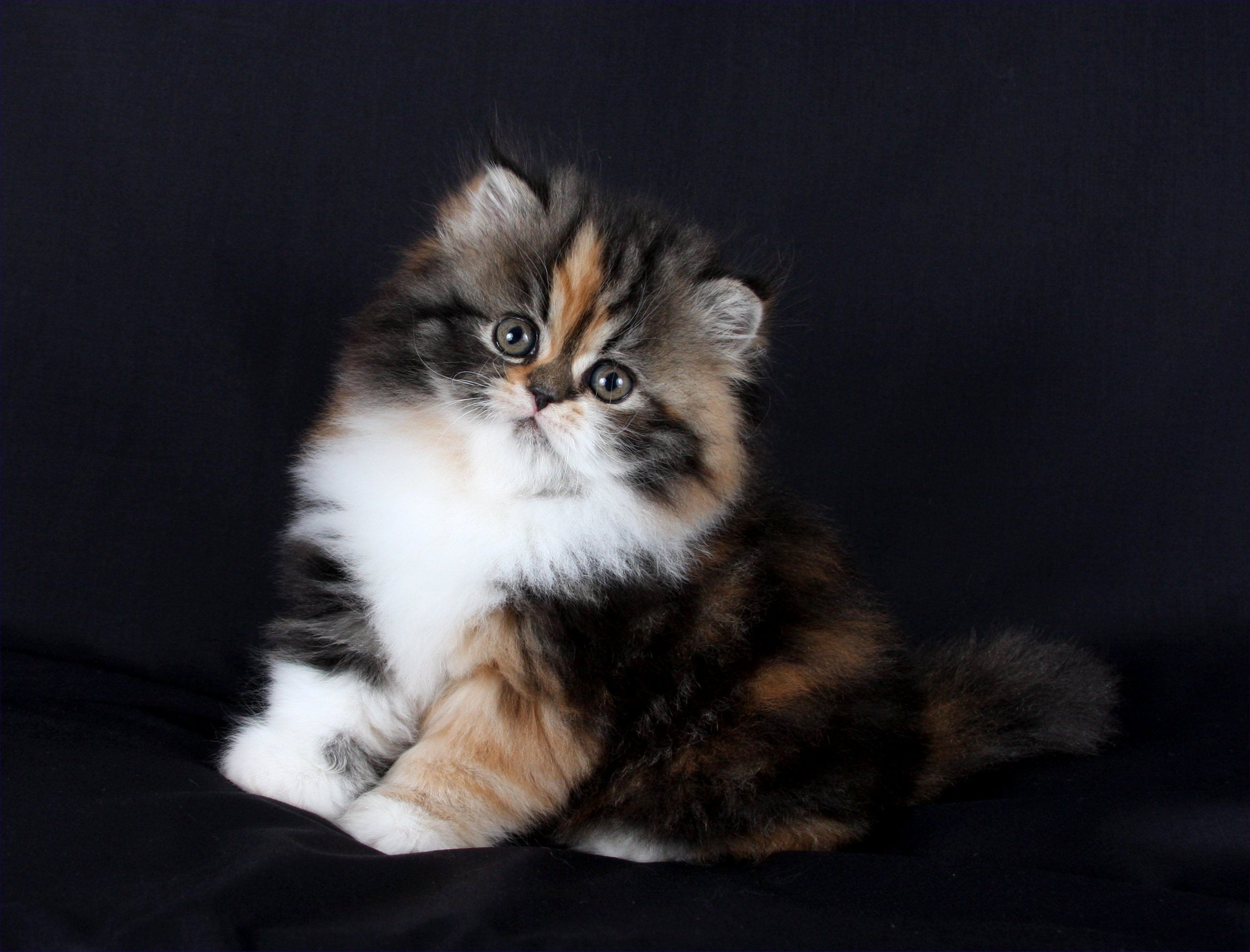 Seal point himalayan kittens for sale uk