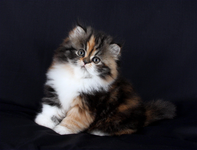 Picsora Com Persian Cat Himalayan Kitten Teacup Persian Cats