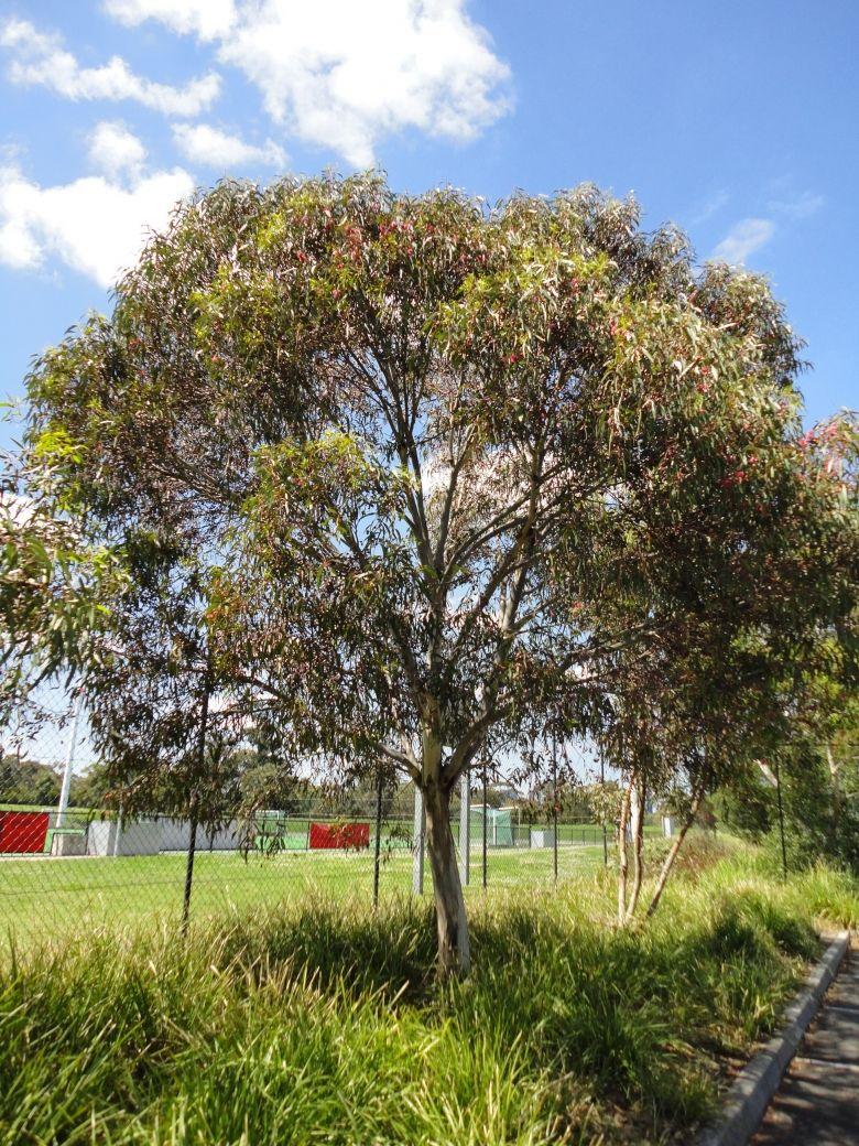Dwarf yellow gum garden pinterest dwarf gardens and for Garden design under gum trees