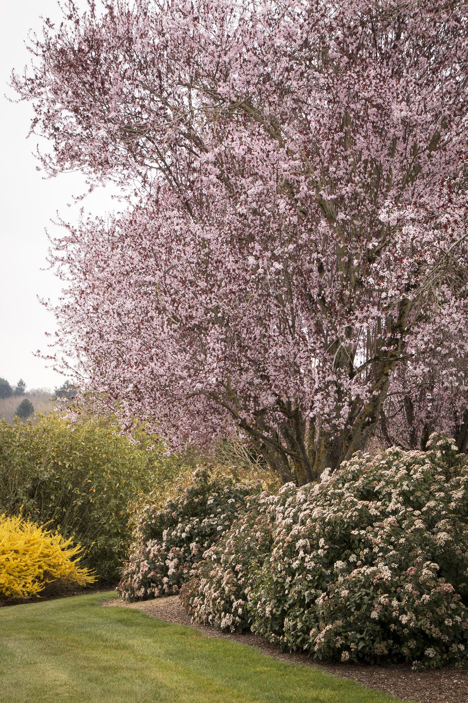 spring bouquet laurustinus is a beautiful evergreen shrub with lightly fragrant pinkish white flowers
