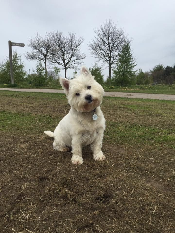 Steph Took This Photo Of Me It S Mum S Favourite Westies White Puppies White Terrier
