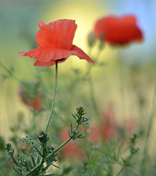 poppy field by svitakovaeva