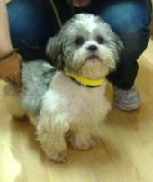 Griffin Is An Adoptable Shih Tzu Dog In San Jose Ca Griffin Is