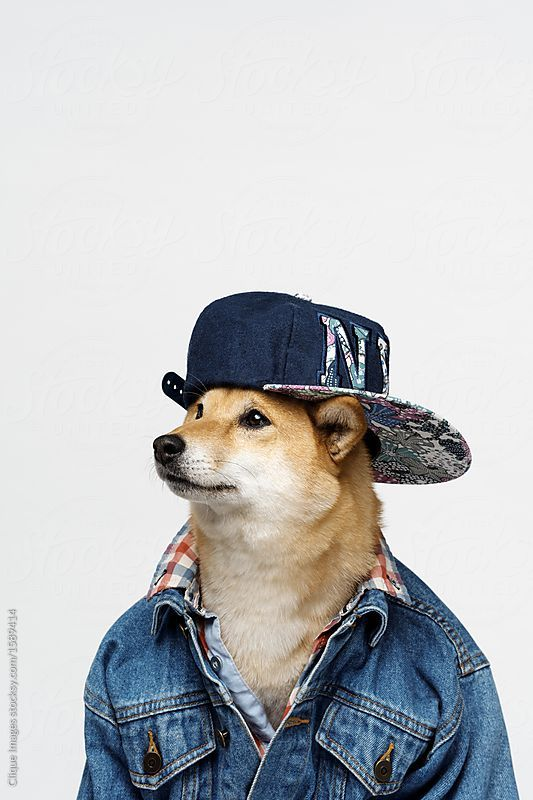 Mister Rapper Portrait Of Charming Dog Wearing Stylish Denim Jacket And Hip Hop Cap Against White Background By Clique Images For Dog Wear Shiba Inu Cute Dogs