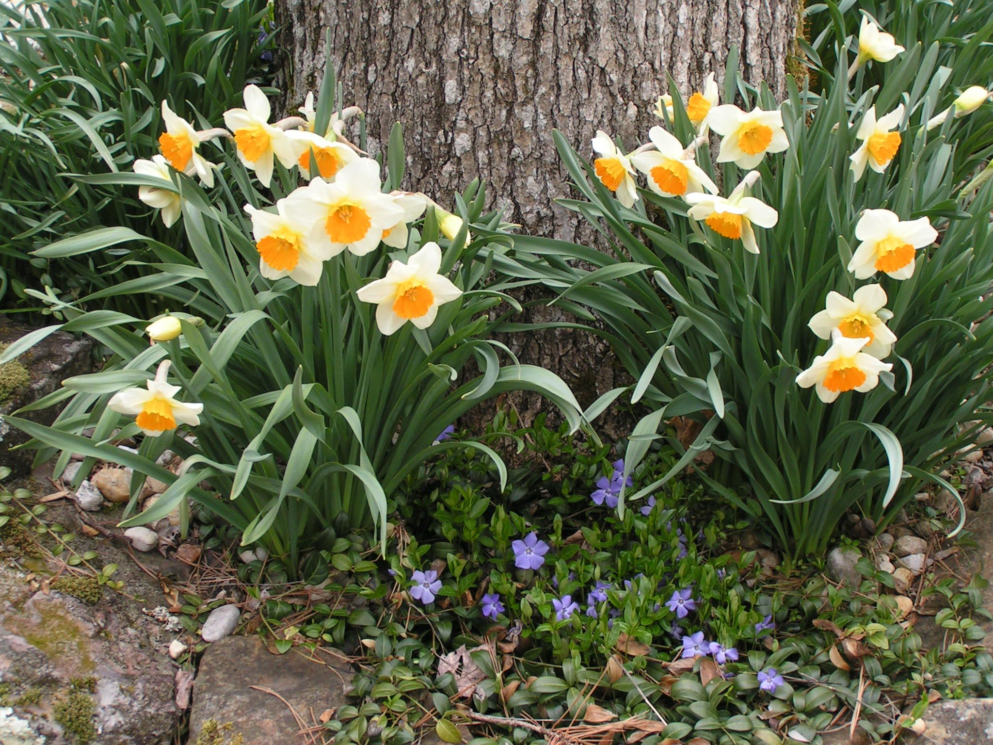 Kentucky spring daffodils periwinkle beautiful