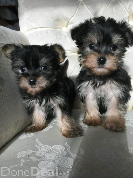 Miniature Morkie Puppiesfor Sale In Meath On Morkie Puppies