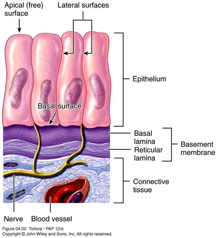Epithelial Basement Membrane And Cells A&P 1 Overview Pinterest Basement membrane and