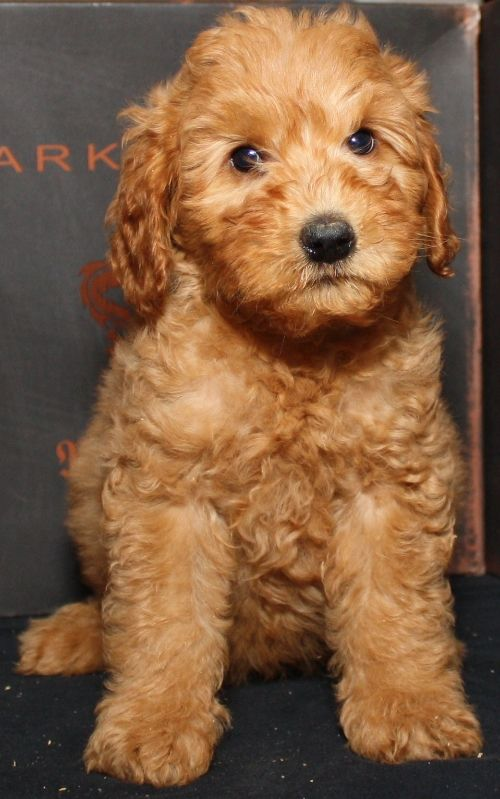 Goldendoodles May Be The Cutest Dogs In The World Goldendoodle Puppy Cute Dogs Puppies