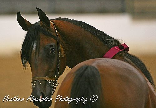 Egyptian Arabian Filly (Miss Staar AC (Imperial Mistaar x MC ENchantress)at the 2009 Egyptian Event by Heather Moreton-Abounader Photography...
