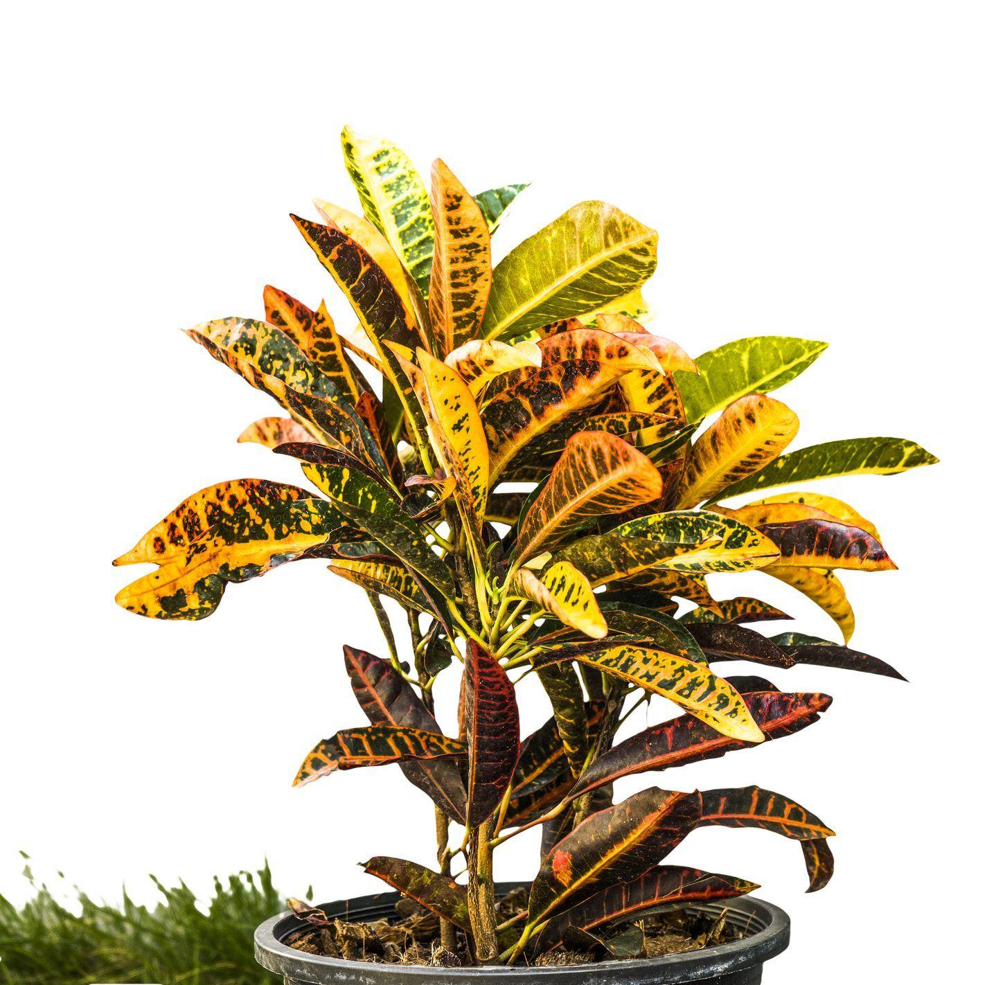 Croton Plant Care An Ultimate Guide Croton plant care
