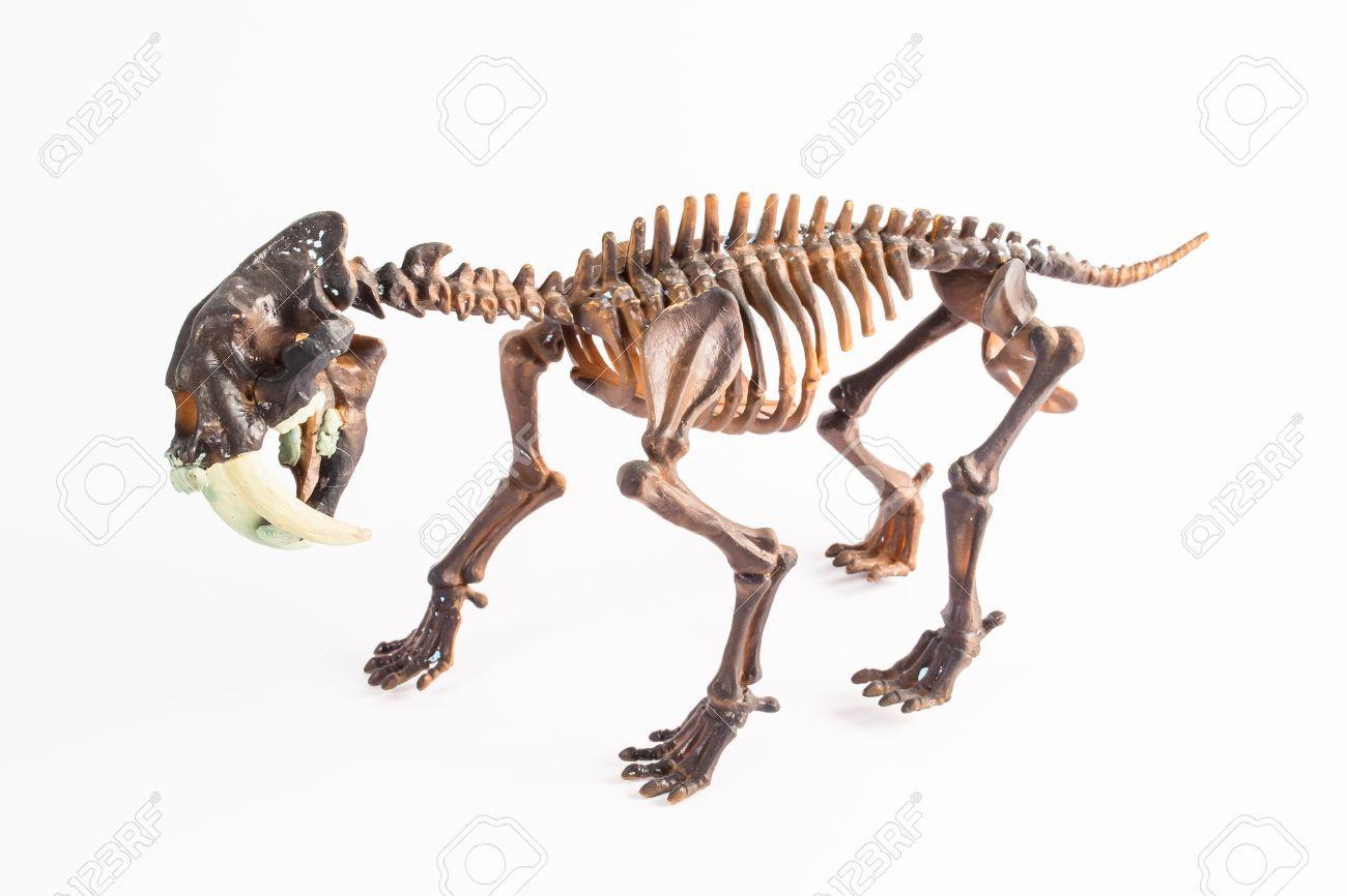 18625418-dientes-de-sable-tigre-esqueleto-Foto-de-archivo.jpg (1300 ...