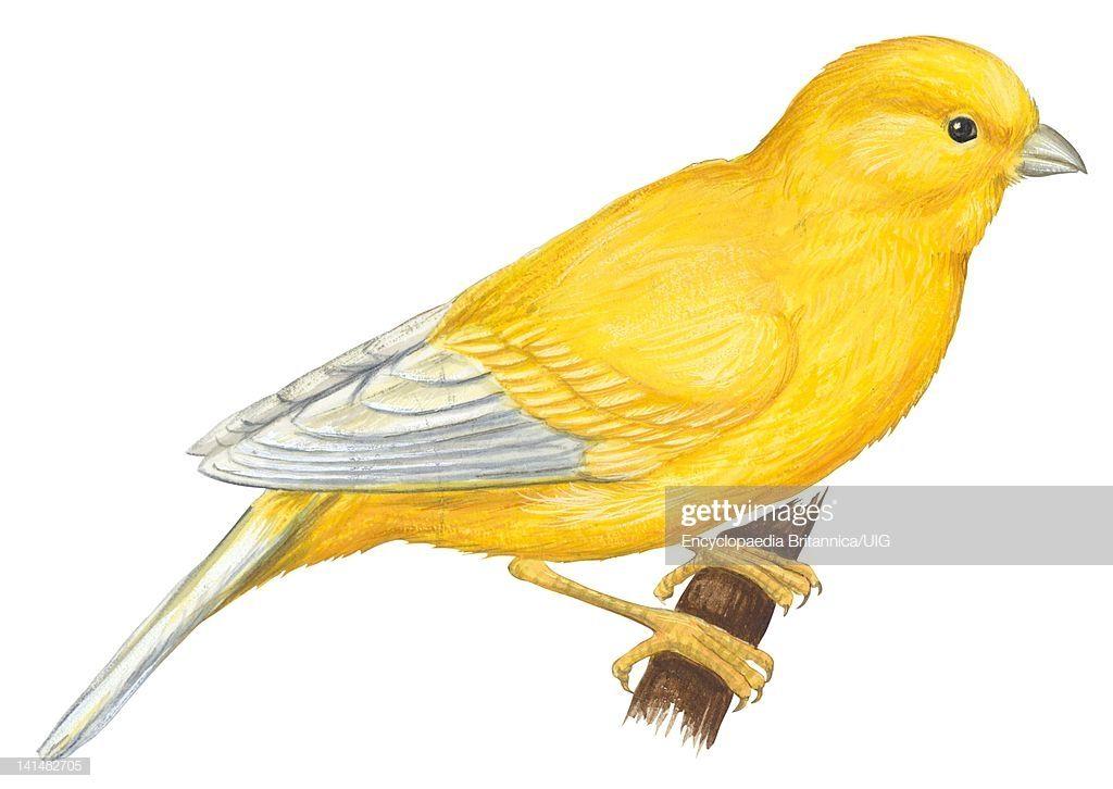 Ilustracion De Stock Canary Bird Dibujos De Pajaro Tatuajes De Aves Arte De Aves