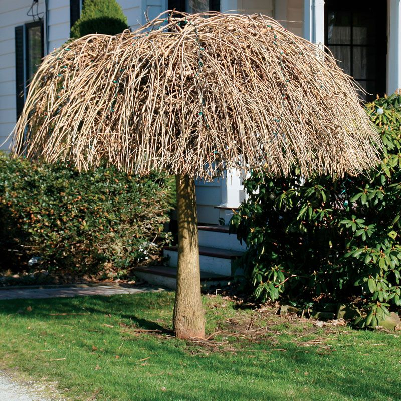How to prune trees and shrubs 5 common pruning mistakes for Weeping garden trees