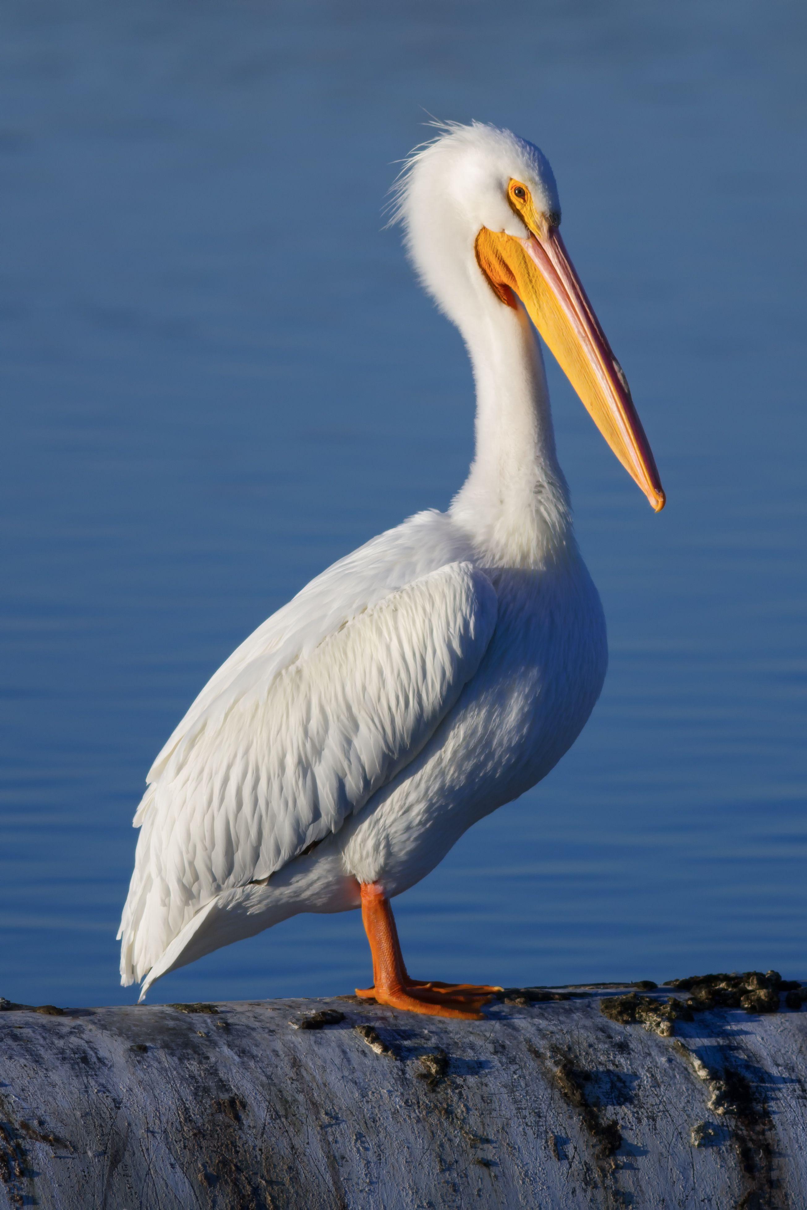 El pel cano blanco americano pelecanus erythrorhynchos - Fotos de pelicanos ...