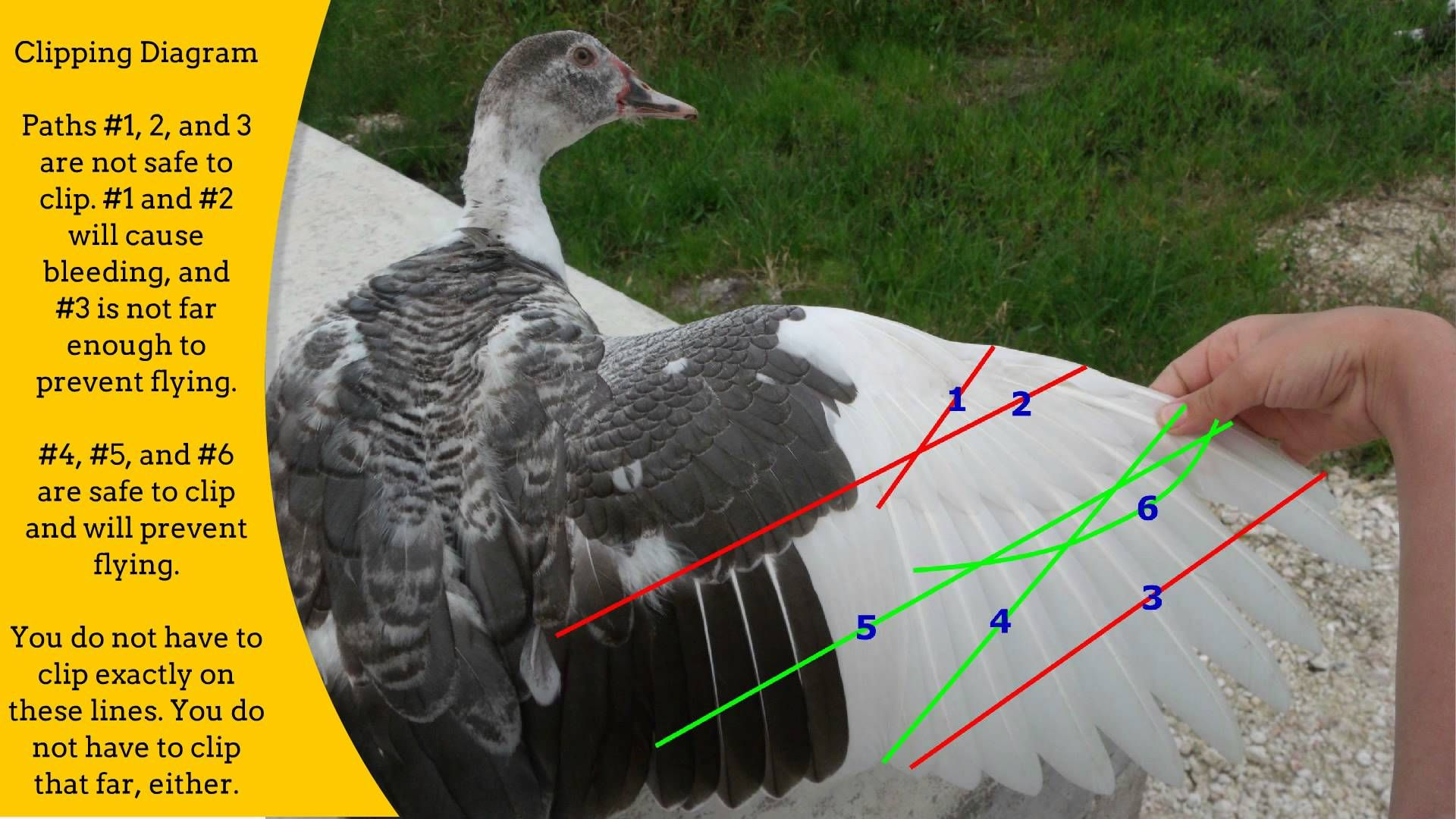 A Complete Guide To Clipping Your Ducks Wings Why Clip Duck Chicken Wing Diagram When Which Breeds How And More