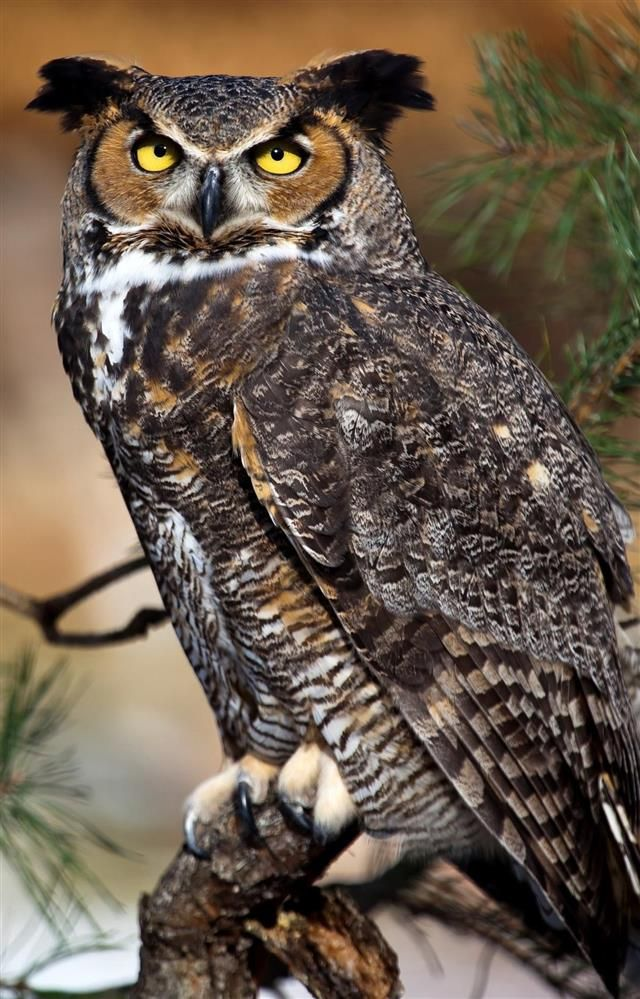 A Brief Introduction to the Common Types of Owls