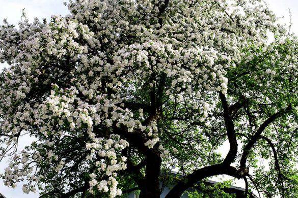 Apfelpralinen mit Thymian - #Äpfelverwerten Apfelbaum blühend  #Apfel #Äpfel #Bäume #Obstbaum #Äpfelverwerten