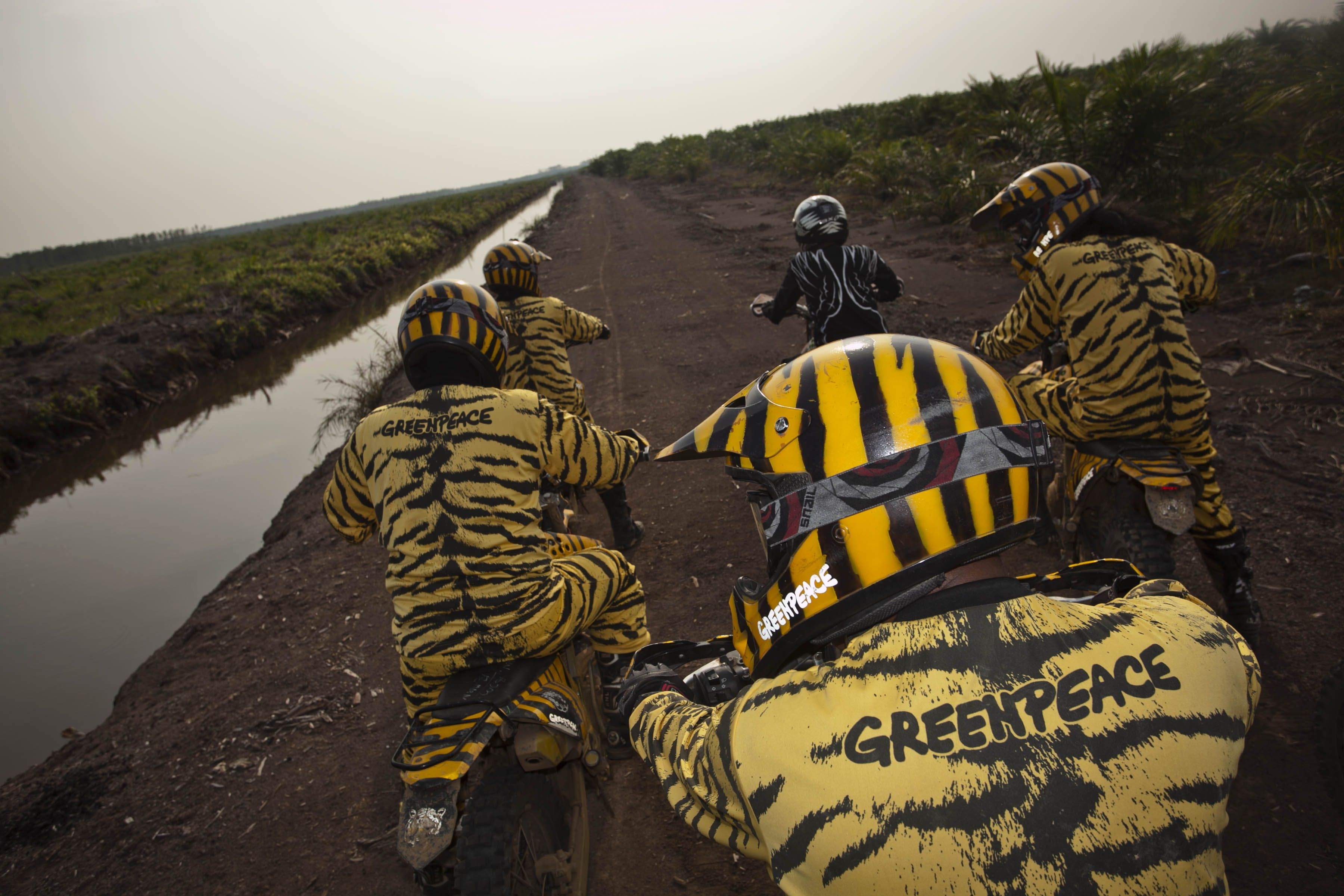 Tim Mata Harimau Greenpeace Menelusuri Perkebunan Kelapa Sawit