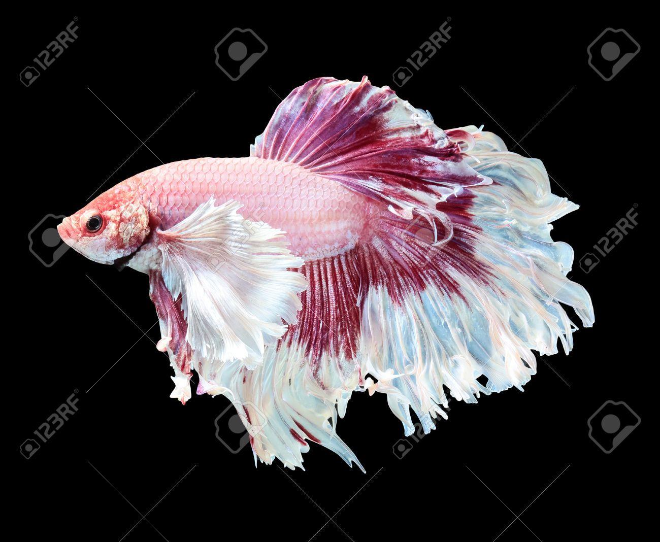 45041231 betta fish siamese fighting fish betta splendens for Halfmoon betta fish