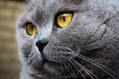 The Yellow Eyed Cat British Blue Cat Cat With Blue Eyes British Shorthair Cats
