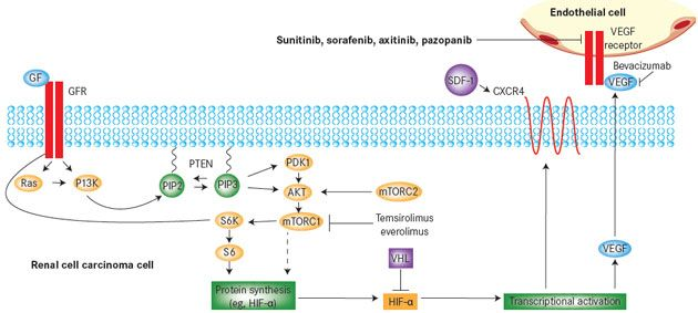 Mechanism Of Action Of Targeted Therapies In Renal Cell Carcinoma