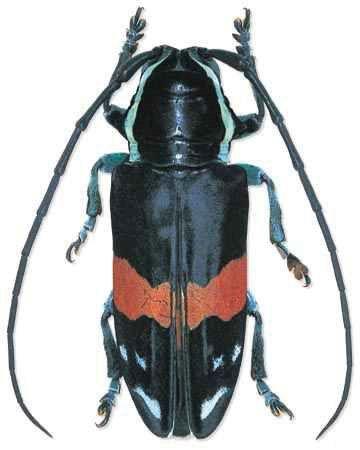 Tragocephala guerini