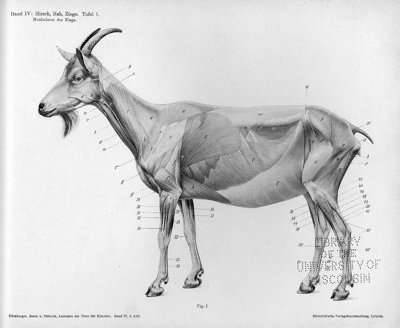 Muskulatur der Ziege, Tafel 1 The deer The goat Dittrich, Herman ...