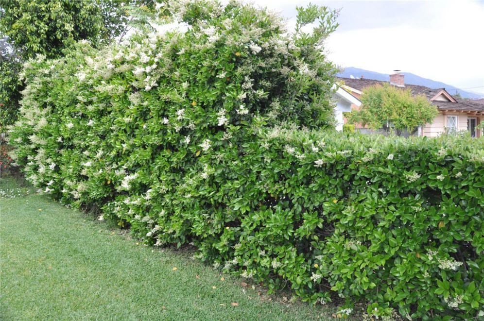 Ligustrum Japonicum Japanese Privet Hedge For Back Wall