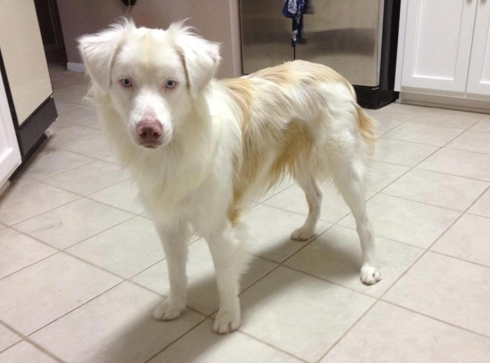 A lethal white aussie the product of breeding two blue