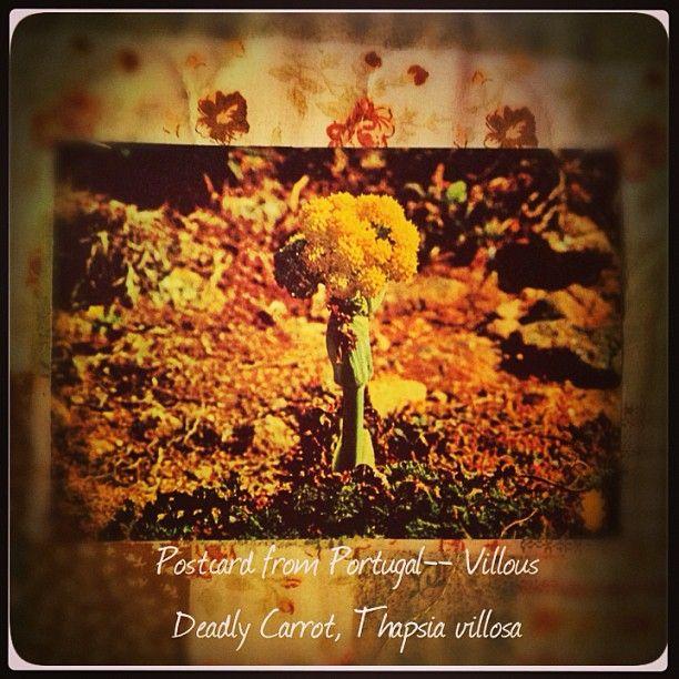 2013-07-30 #Postcard from #Portugal (PT-307293) {Thapsia villosa, villous deadly carrot} via #postcrossing #flower #carrot #poisonous #Padgram