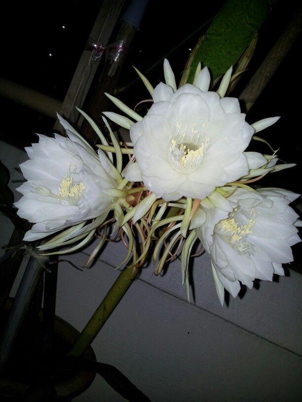 Bunga Kembang Malam Bakawali Night Blooming Cereus With Images