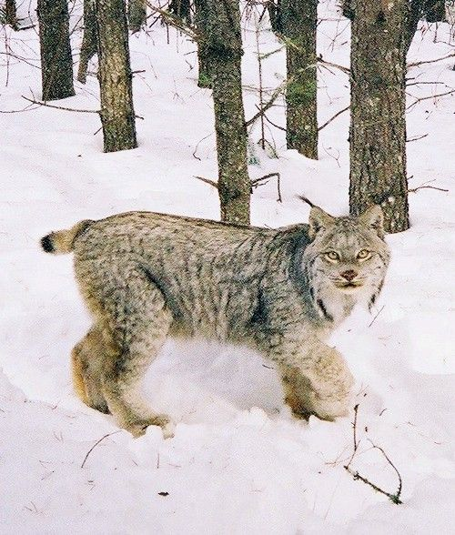 Canada lynx is federally listed as a threatened species for Vermont fish and wildlife