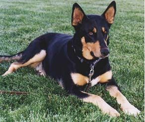 Doberman Husky Mix Google Search Doberman Mix Cute Puppies
