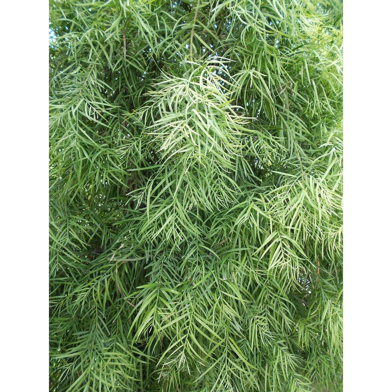Picture of Live Fern Pine aka Podocarpus gracilior espalier Plant Fit 5 Gallon Pot