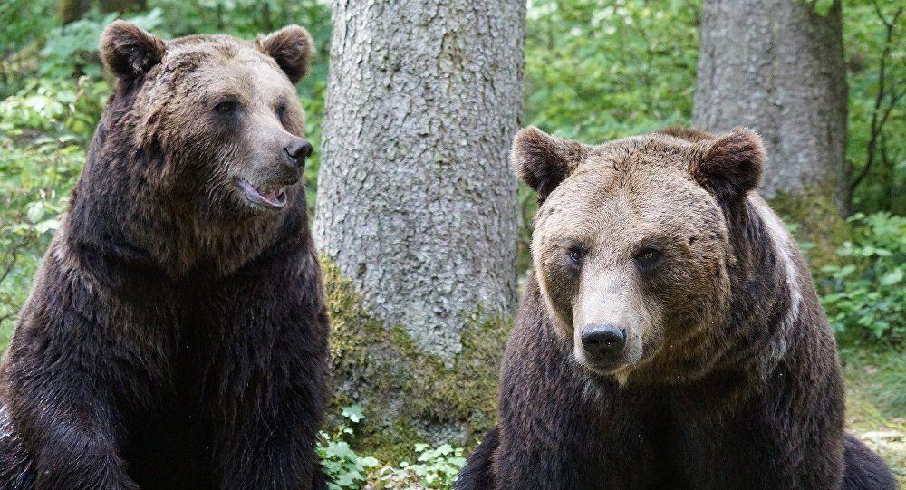Un coureur professionnel kényan raconte comment il a fui deux ours (Sputnik)
