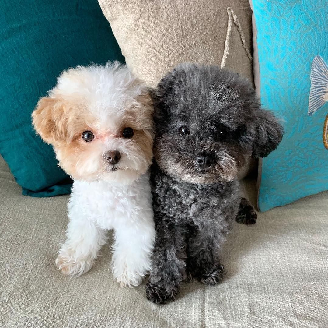 25 Teddy Bear Dog Breeds Cutest Dogs You Ever See Teddy Bear Dog Teddy Dog Teddy Bear Poodle