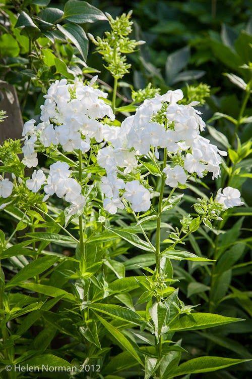 David phlox is a prolific blooming perennial...\
